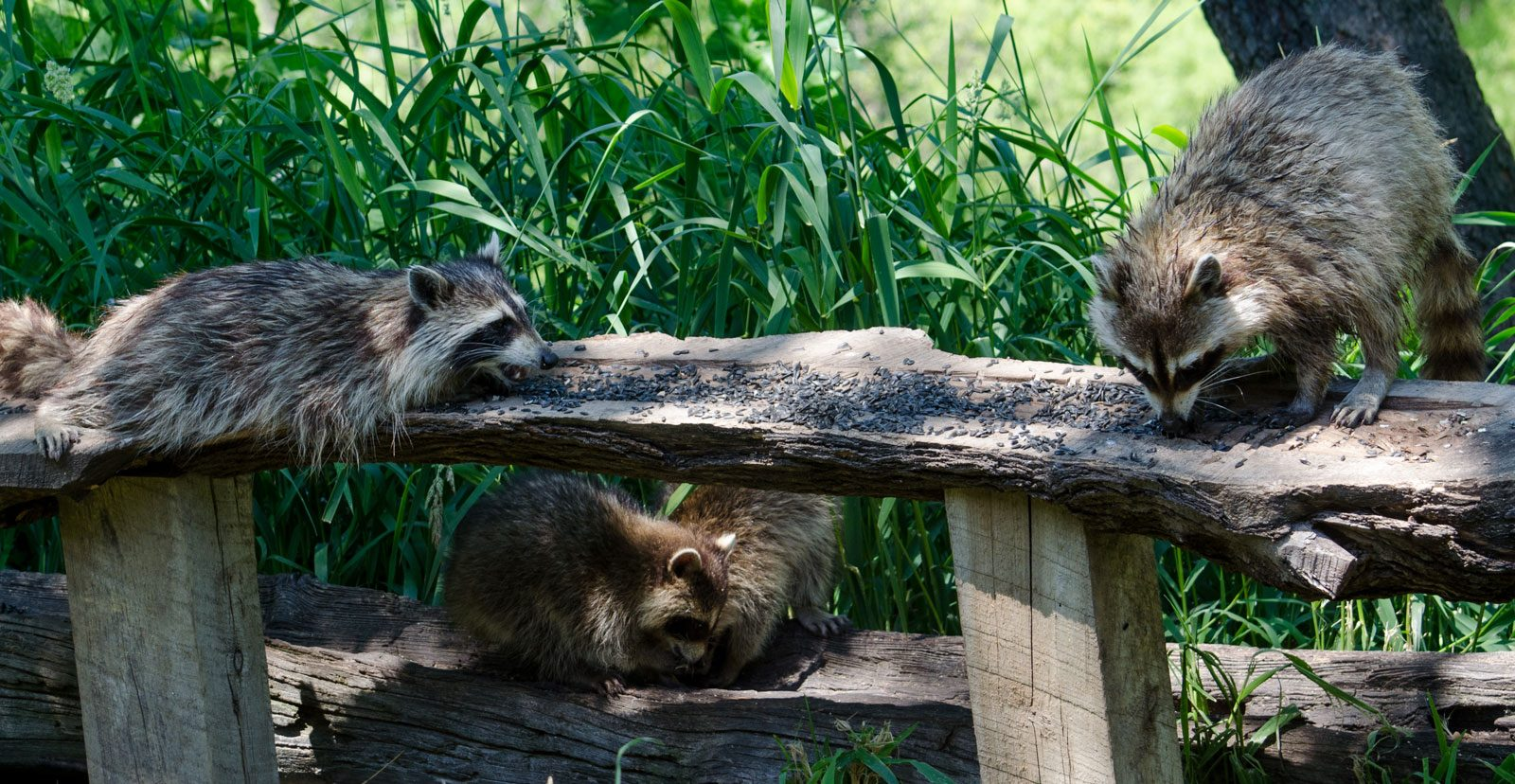 Raccoons on residential property in Westchester, NY