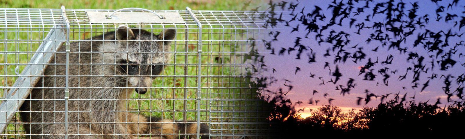 Westchester Wildlife Removal - Chaos Wildlife