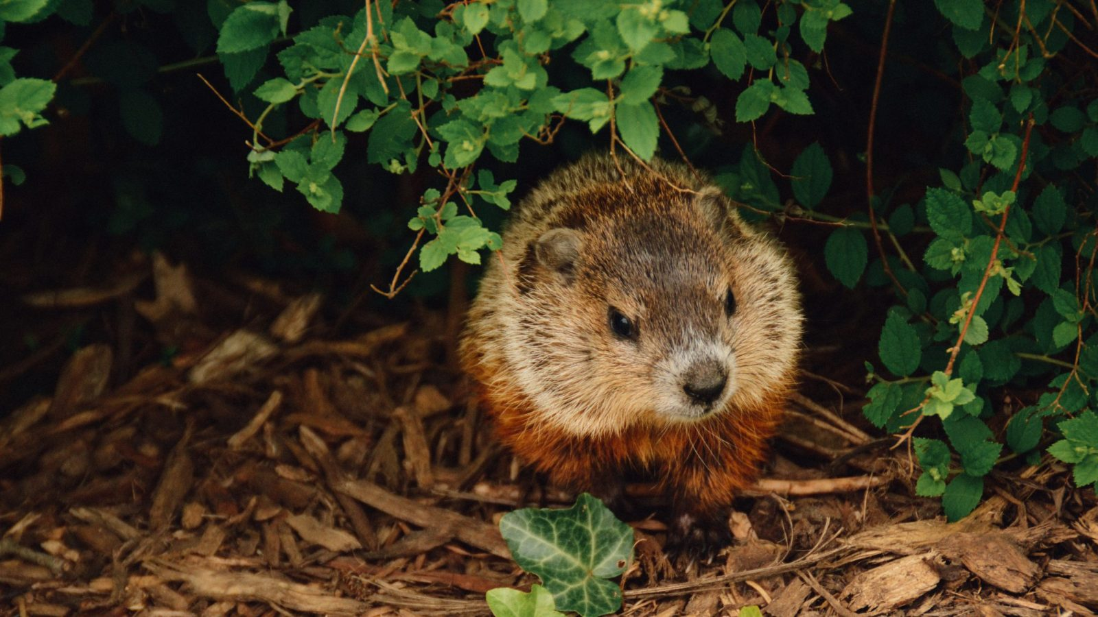 Woodchuck Removal - Westchester, NY
