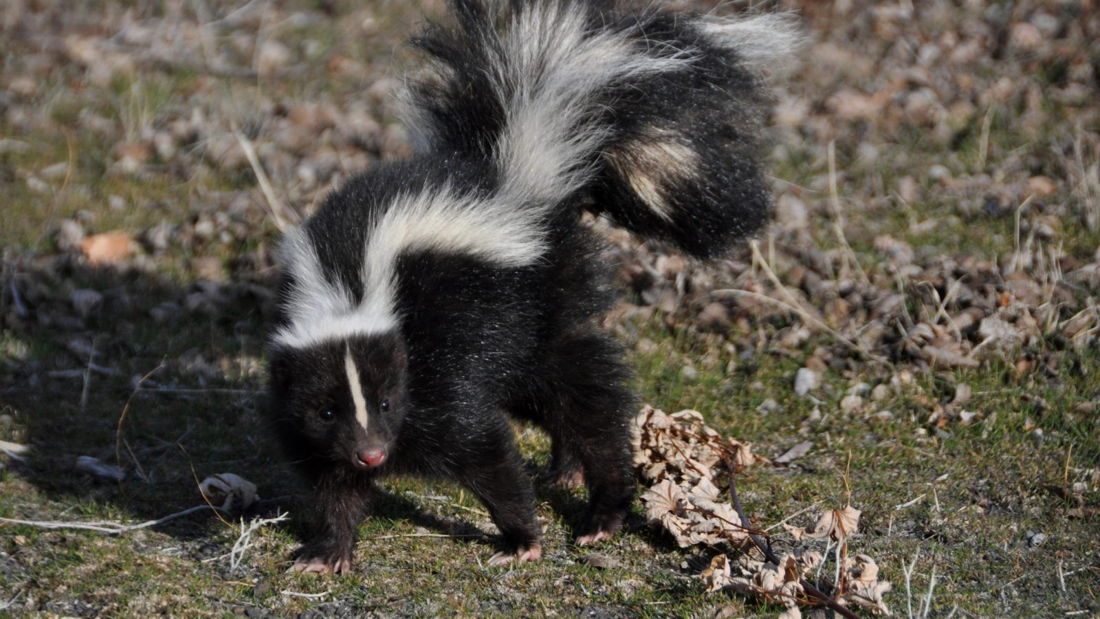 Skunk Removal - Westchester, NY