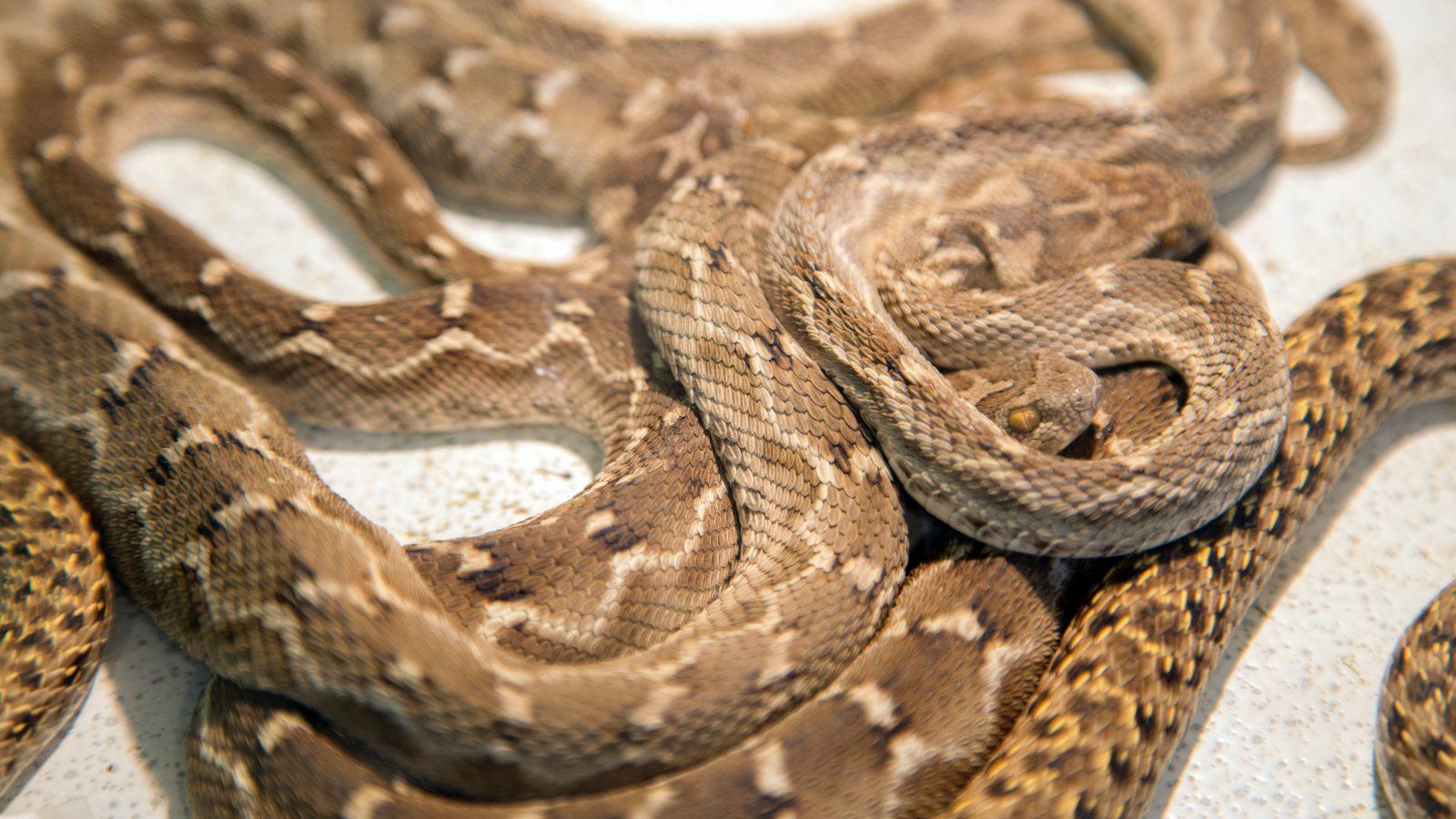 Snake Removal - Westchester, NY